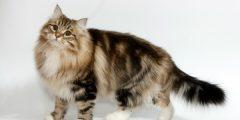siberian cat bree 10676 3 1536193441 240x120 - اهم المعلومان عن القطط السيبيريه