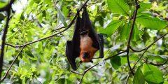 يقف الخفاش بالمقلوب 240x120 - لماذا يقف الخفاش بالمقلوب