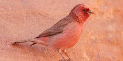 عن الطائر الوردي 240x120 - معلومات عن الطائر الوردي
