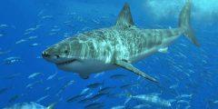 great white shark facts 1961 4 1517909664 240x120 - اماكن تواجد سمك القرش الابيض العظيم
