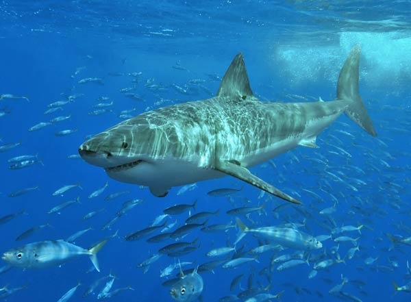 great white shark facts 1961 4 1517909664 - اماكن تواجد سمك القرش الابيض العظيم