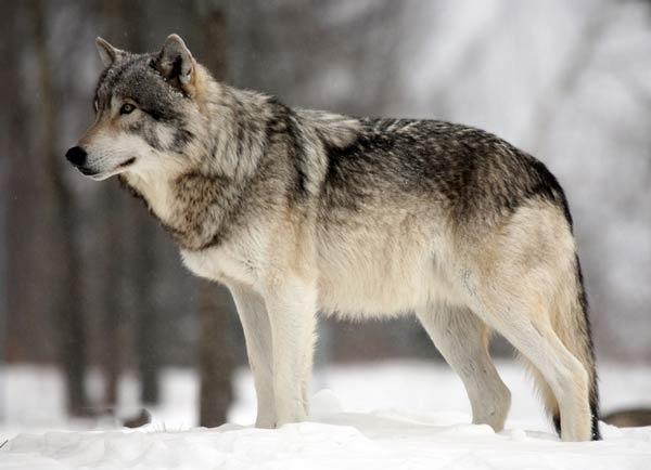 grey wolf facts 1940 2 1516711184 - خصائص الذئب الرمادي