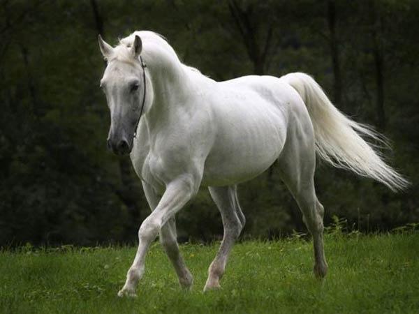 horse facts 1936 1 1516302619 - تاريخ الحصان عبر السنين