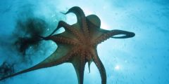 octopus facts 899 3 1520721528 240x120 - 10 حقائق مثيرة عن الاخطبوط