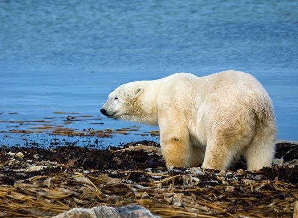 polar bear facts 1938 2 1516540010 - وصف الدب القطبي