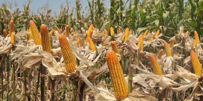 لبيع بذور الذرة - قوانين عرفية غريبة في أندونيسيا