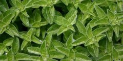 عشبة بردقوش 240x120 - اهمية عشبة بردقوش