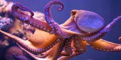 قلب للأخطبوط 240x120 - معلومات عن حيوان الأخطبوط