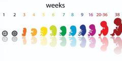 يمكن حساب أسابيع الحمل 240x120 - حساب أسابيع الحمل