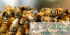 معلومات عن النحل القوقازي