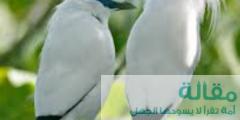حقائق شيقة عن طائر بالي مايانا