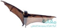1 476 240x120 - معلومات عن الخفاش