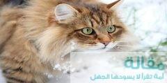 تعرف على القط السيبيري