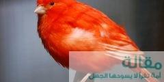 نبذه عن طيور الكناري