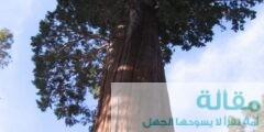 تعرف علي أكبر شجرة في العالم